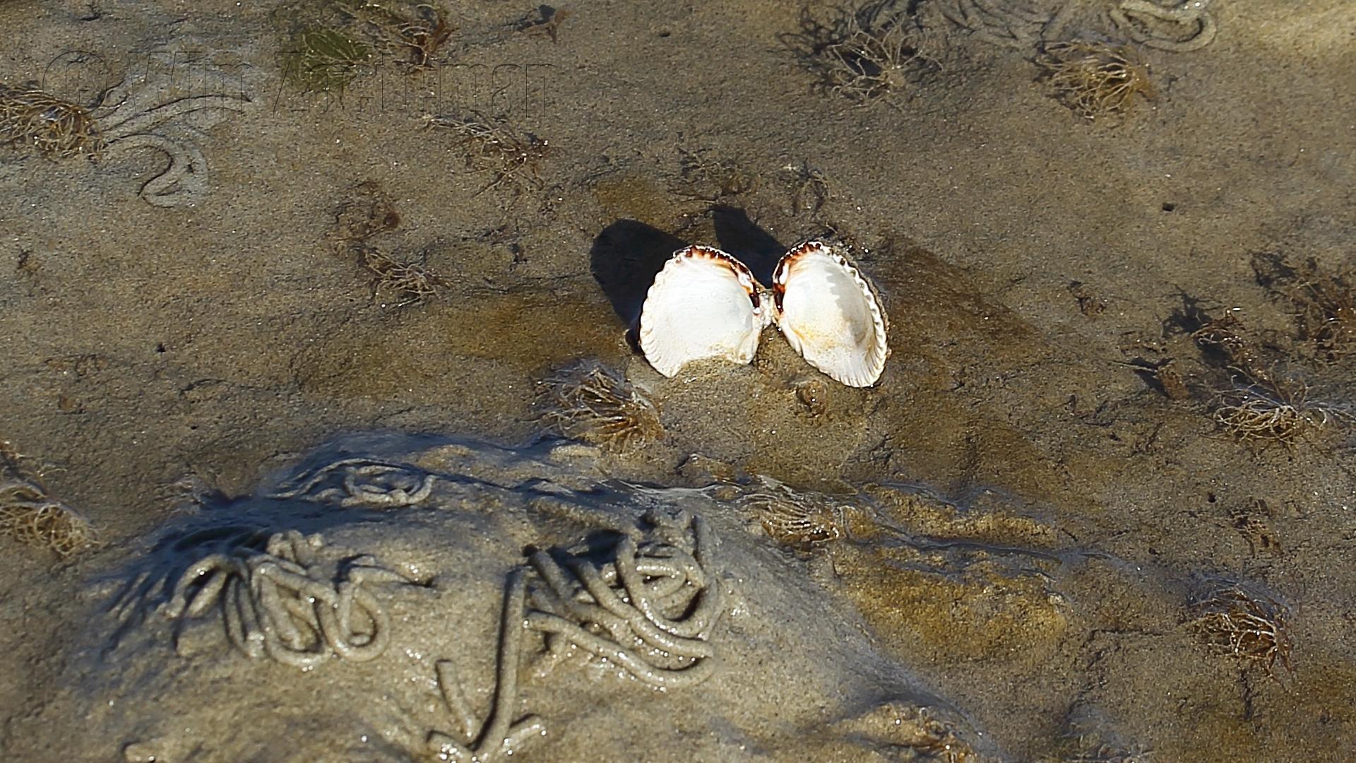 IMG_5548 Wad Rottumeroog - schelp
